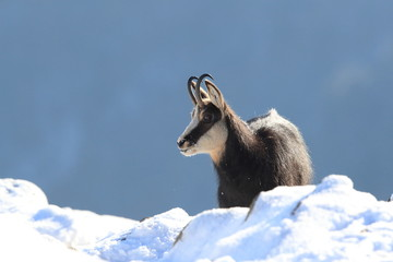 Chamois (Rupicapra rupicapra) in the winter Vosges Mountains, France