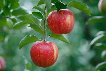 Closeup of a branch with fresh red apples