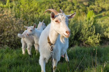 Family of domestic goats in a pasture spring orchard