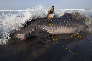 A rescue team member tries to tie a rope around a whale shark, which died after being stranded on the Parangkusumo beach, near Yogyakarta