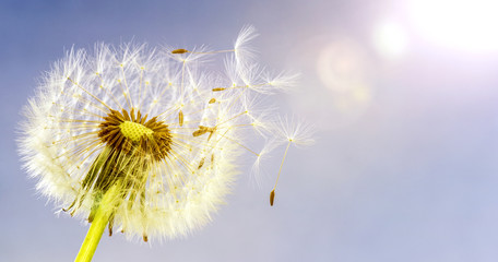 Pusteblume (Löwenzahn) im Sonnenschein