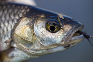 Chub fish caught on fly