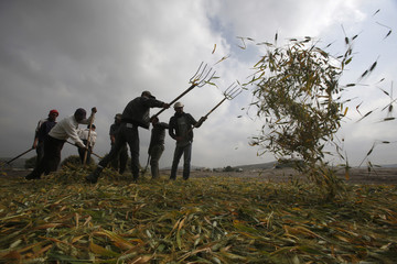 Palestinian workers use pitchforks to spread freshly harvested green wheat on the ground in the West Bank village of Zawiya near Jenin