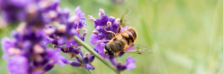 Biene sammelt Pollen - Banner