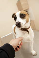 Cute jack russel terrier giving his paw to a man