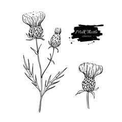 Milk thistle flower vector drawing set. Isolated wild plant and leaves. Herbal engraved style illustration