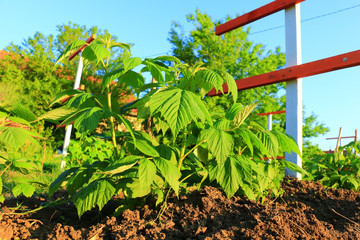 Branch with green leaves of raspberry and young colorful reddish leaves. Texture of raspberry leaves