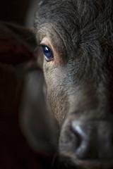 Black buffalo calves on the farm