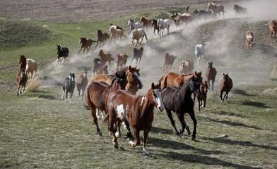 Horses run to the corrals during the Montana Horses Annual Horse Drive outside Three Forks