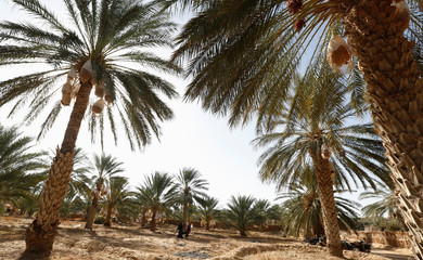 Youths collect dates from palm trees at a farm in Jemna, southern Tunisia