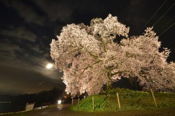 ライトアップされた王仁塚の桜