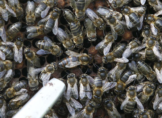 Queen bee is seen in middle of other bees on honeycomb at Cherchell farm in Tipaza Valley