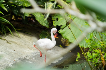 White feather Flamingo in the pond