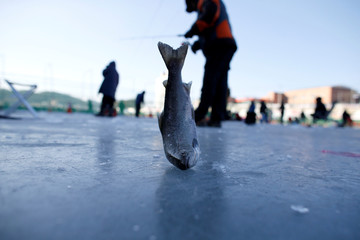 People fish for trout through holes in a frozen river in Hwacheon