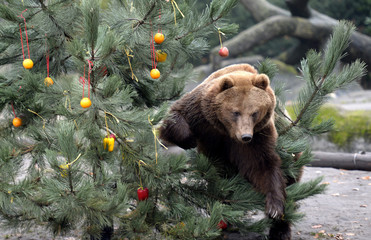 Kamchatka Brown Bear Mascha climbs through a Christmas tree, decorated with fruits and fish at Hagenbecks zoo in Hamburg