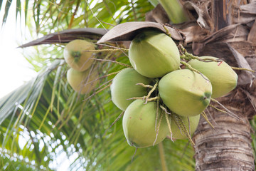 Closer Coconut cluster on Tree
