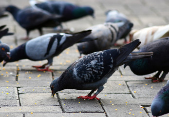 pigeons are eating together