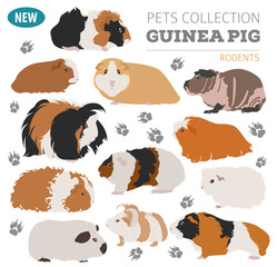 Guinea Pig breeds icon set flat style isolated on white. Pet rodents collection. Create own infographic about pets