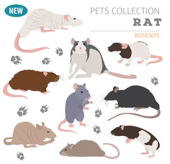 Rat breeds icon set flat style isolated on white. Pet rodents collection. Create own infographic about pets