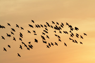Flocking behavior of Starling Birds in winter