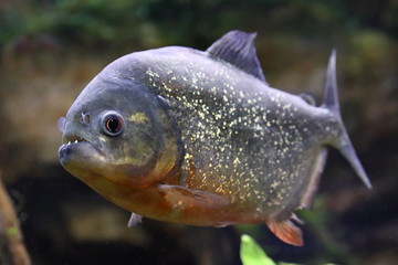 Pygocentrus nattereri. Piranha with mouth open