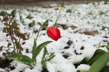 Tulips under the snow