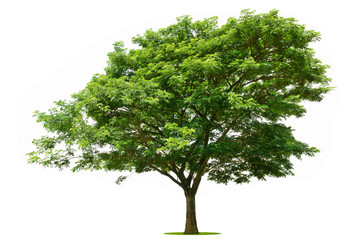 The big green tree is bright on the white background