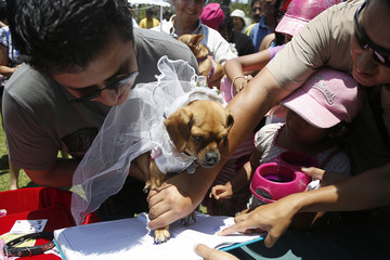 Chispa, a dog wearing a bridal veil makes a paw print on a certificate during her symbolic wedding, as part of the upcoming celebrations of Saint Valentine's Day organized by a local municipality in Lima