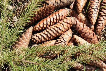 Fir cones lying on the ground