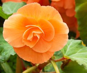 Orange Rieger begonia or Hiemalis begonia flower in botanic garden
