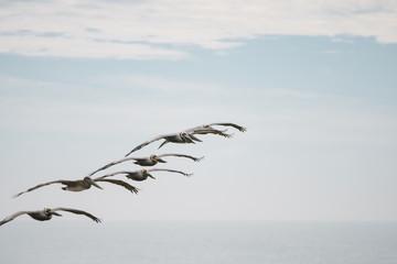 Pelikan in Formation über Meer an Küste entlang