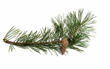 A branch of pine with a pine cone