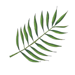 Green Palm Leaf Hand Painted Isolated on White Background Illustration