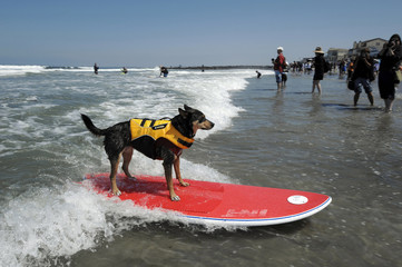 Defending champion surfing dog Abbie rides a wave during the Loews Surf Dog Competition in Imperial Beach