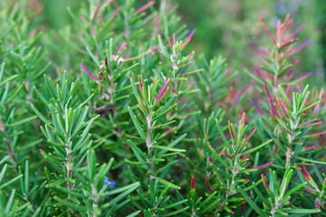Rosemary in the garden with selective focus