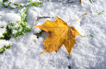 Yellow Maple Leaf on snow