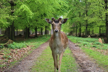 Reh im Wald - deer in the forest