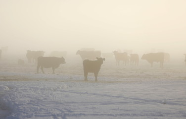 Cattle in the fog on a ranch near Burns as the occupation continues at the Malheur National Wildlife Refuge near Burns, Oregon