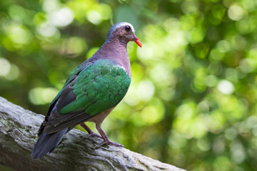 Image of bird (Common Emerald Dove) on nature background.  Animals.