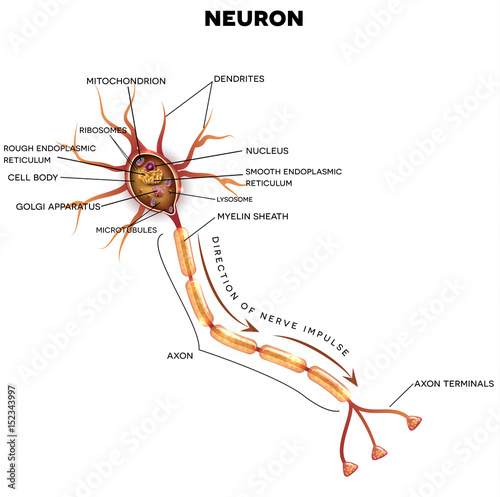 Nerve cells diagram direction electrical work wiring diagram neuron nerve cell that is the main part of the nervous system rh fotolia com 3d nerve cell diagram nerve cell function ccuart Choice Image