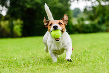 Funny dog with tennis ball in jaws playing at lawn