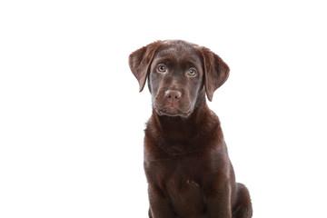 Labradorwelpe, braun/chocolate
