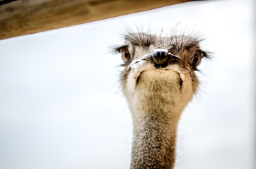 Surprised muzzle of an ostrich peeking out from behind the crossbar.