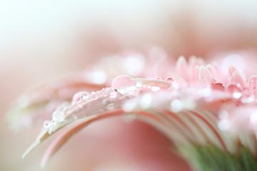 Gerbera flowers with raindrop