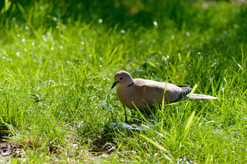 Wild forrest pigeon looking for seeds in fresh green grass