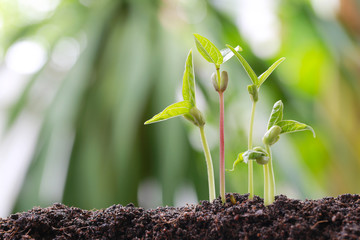 Green bean sprouts on soil in the vegetable garden and have nature bokeh background.