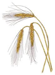 Ears of Barley (Hordeum vulgare) botanical drawing