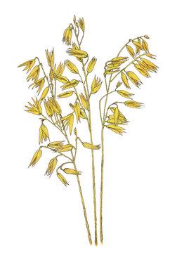 Ears of Common oat (Avena sativa) botanical drawing