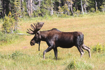Shiras Moose of The Colorado Rocky Mountains
