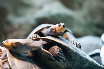 Schildkröten aufeinander